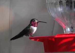 Hummingbird Chuparosa Inn Madera Canyon Tucson